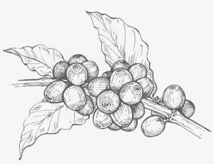 Dibujo blanco y negro planta de café
