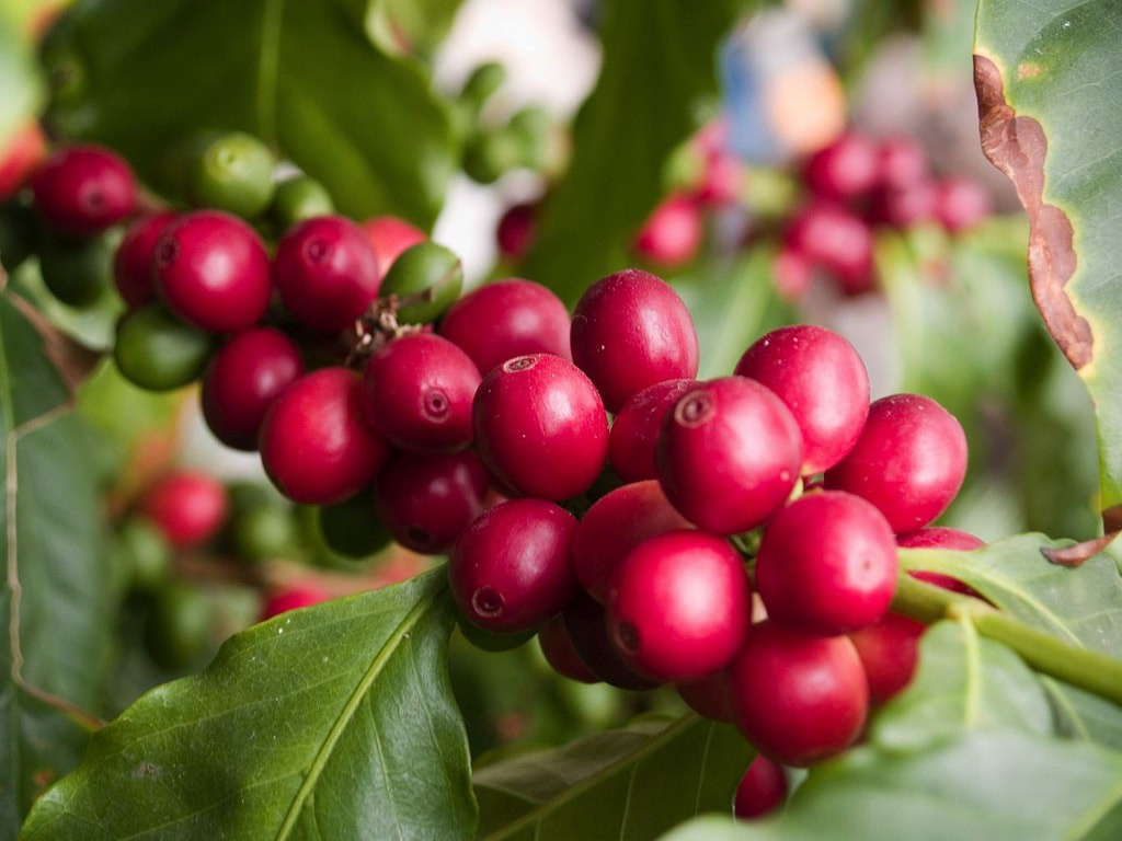 Frutos del cafeto