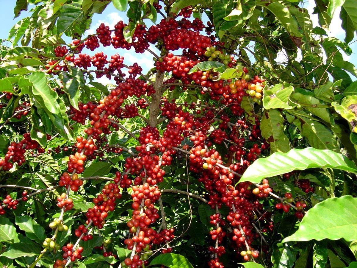 frutos de la planta de café