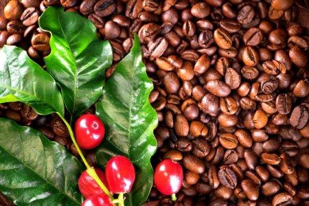 planta de café con granos de café
