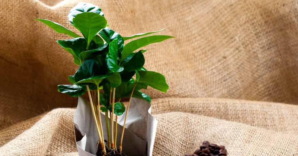planta del café en una maceta
