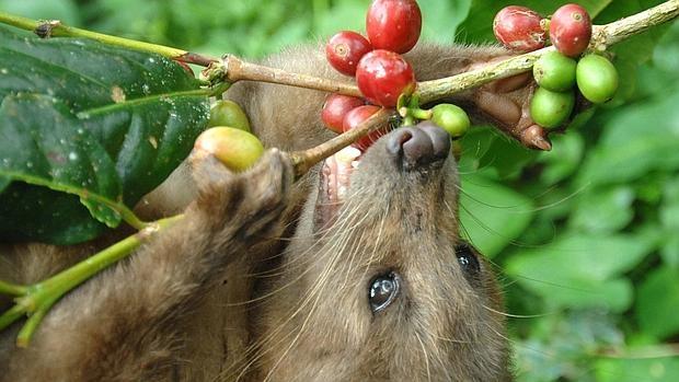 civeta comiendo frutos de cafe