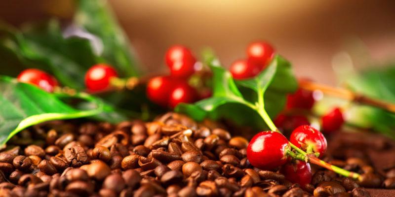 fruto del cafe