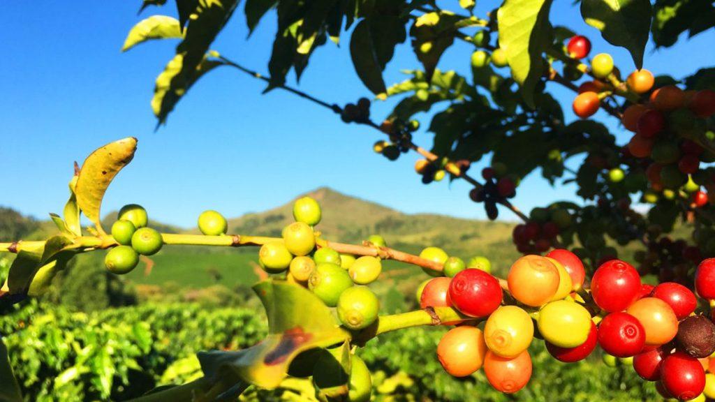 arbol y frutos de cafe