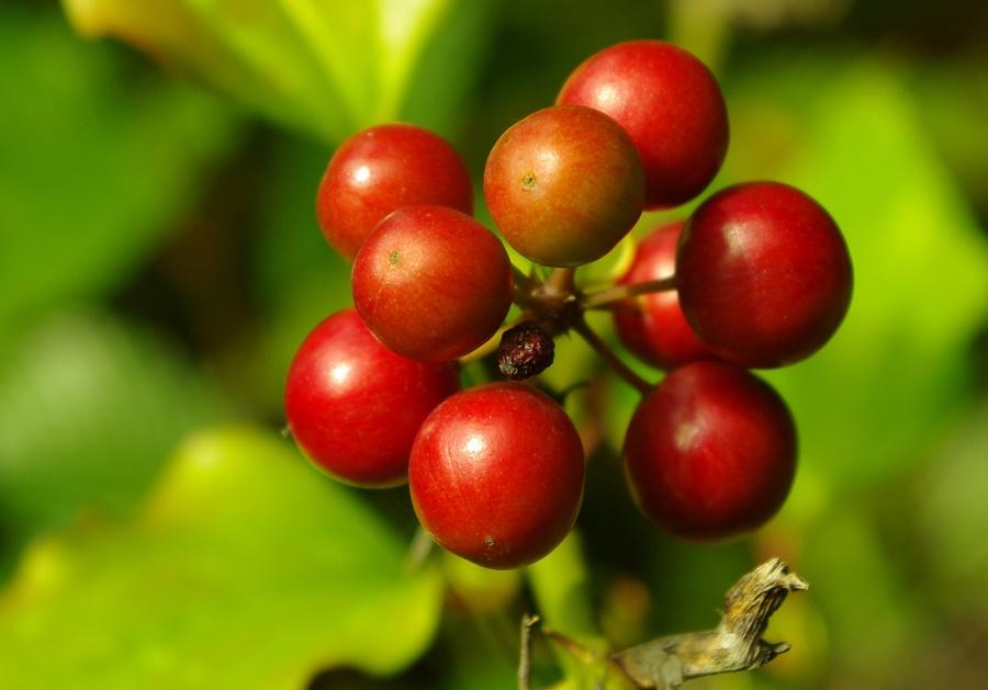 frutos de cafe