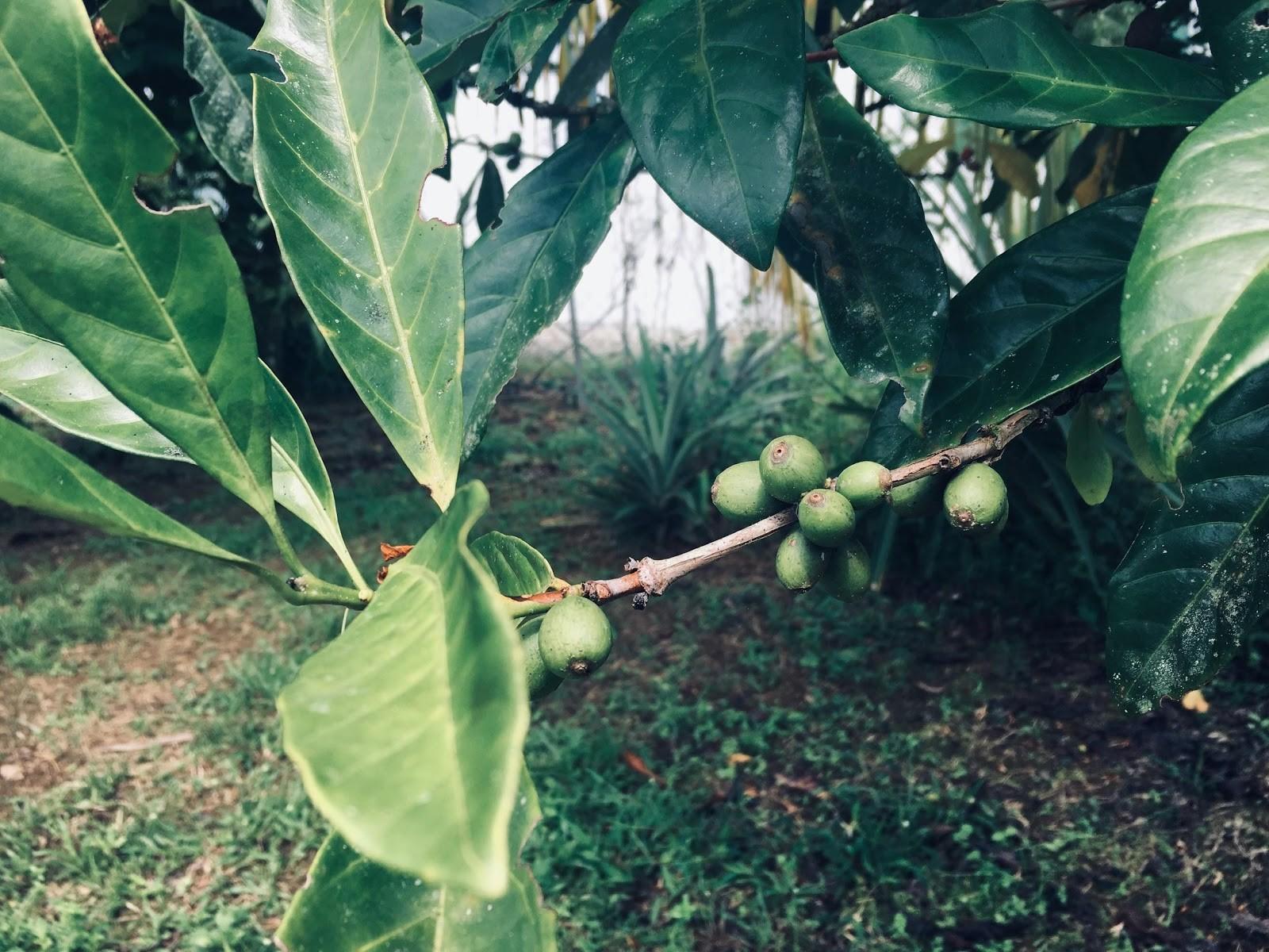 planta de café libérica