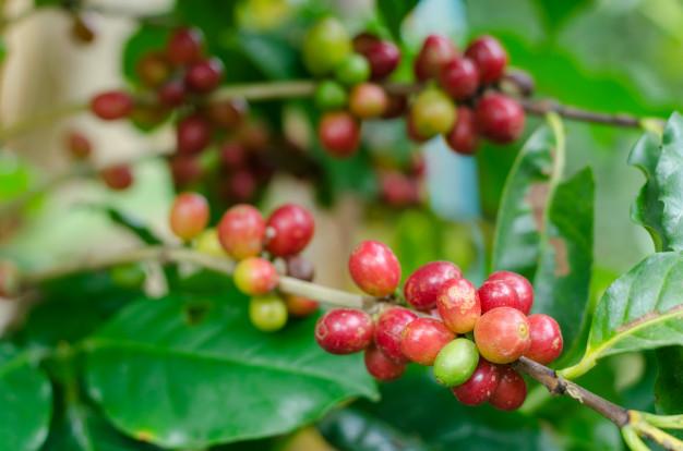 planta de cafe con frurtos
