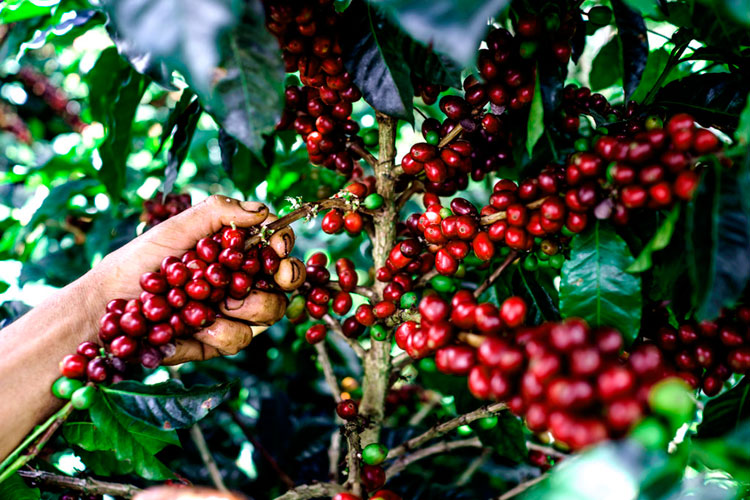Caracteristicas-del-cafe-colombiano-cafemalist